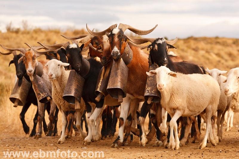 Le désert des Bardenas: Transhumance